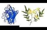 Sophora flavescens (SFL)