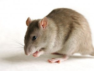 Rats Transgéniques