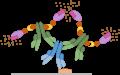 Protocole Immunohistochimie - Méthode Avidine/Biotine Complexe (ABC)