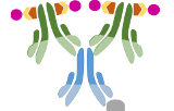Kits ABC (Complexe Avidine/Biotine)