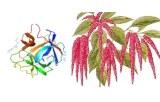 Lectine Amaranthus caudatus (ACL/ACA)
