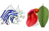 Lectine Erythrina cristagalli (ECL/ECA)