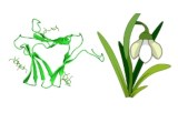 Lectine Galanthus nivalis (GNL/GNA)