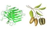 Lectine Griffonia simplicifolia (GSL)