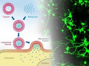 Fuse-it mRNA