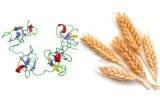 Lectine Triticum vulgaris (Wheat) (WGA)